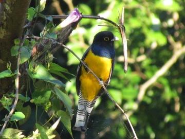 Trogón Enligado, una de las más que 500 especies de aves que se han registrado en Los Tuxtlas (Foto: Francisco Gómez Marín).