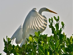 Egretta alba (Sergio Pazos)