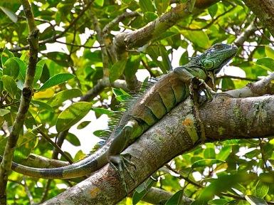 Iguana (Sergio Pazos)