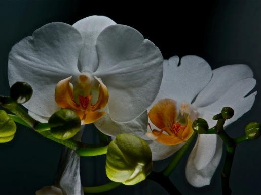 Orquídea 3 (Sergio Pazos)