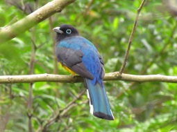 Trogon melanocephalus (Francisco Gómez)